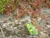 Kletterweg 2011 na 26 min: allerlei rotsplantjes (ook iets voor op onze tuintrap/-muur)