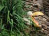 de pelikaan (aug 2020)