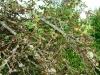 Wandeling Trarbach - Bernkastel - mosboom (sept 2013)