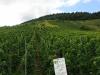 Weinlehrpfad – Een veld Grau Burgunder (aug 2011)