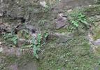 nog meer muurvarens (augustus 2010)