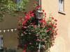 jaarlijkse rozenfoto (juni 2021)