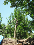 omgezaagde pruimenboom (2010)