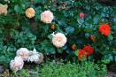 rozen van dichtbij (juni 2019)