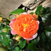 roos (juni 2021)