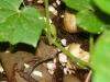eerste augurkje (aug 2013)