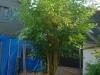 boom voor het snoeien (okt 2016)