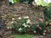 de rozenstruiken (juni 2021)