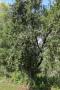 Rondwandeling - wilde appelboom (aug 2020)