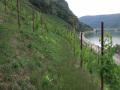 Nieuwe pad wandeling - horitontale wijnpaden (aug 2020)