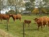 Karden Eltz na 40 min - koeien (okt 2012)